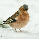Photographing Garden Birds in the Snow