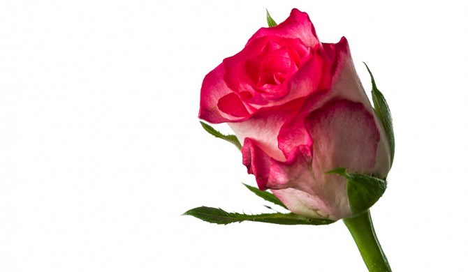 Photographing Roses against a white Background