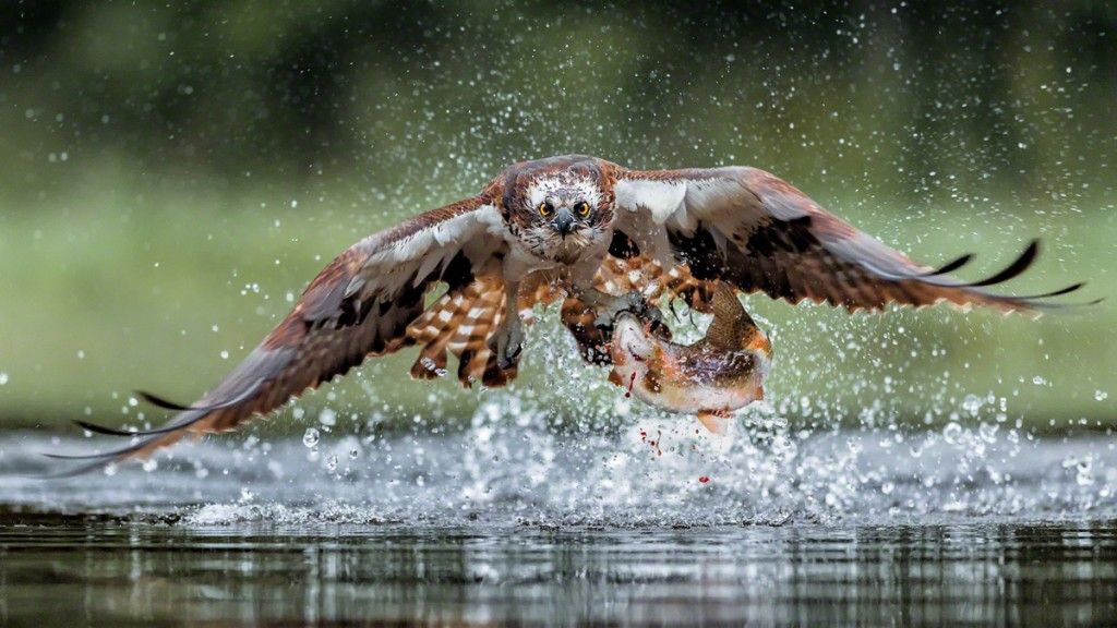 Photographing Osprey